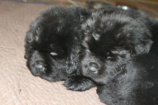 Newfie Puppies